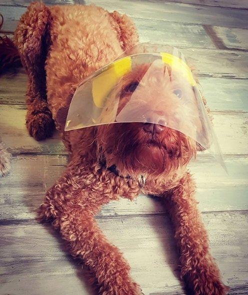 Cachorro com viseira de proteção