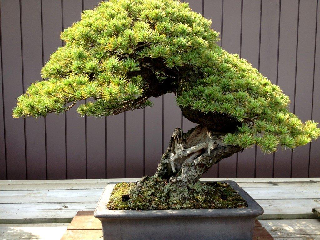Bonsai Goyomatsu