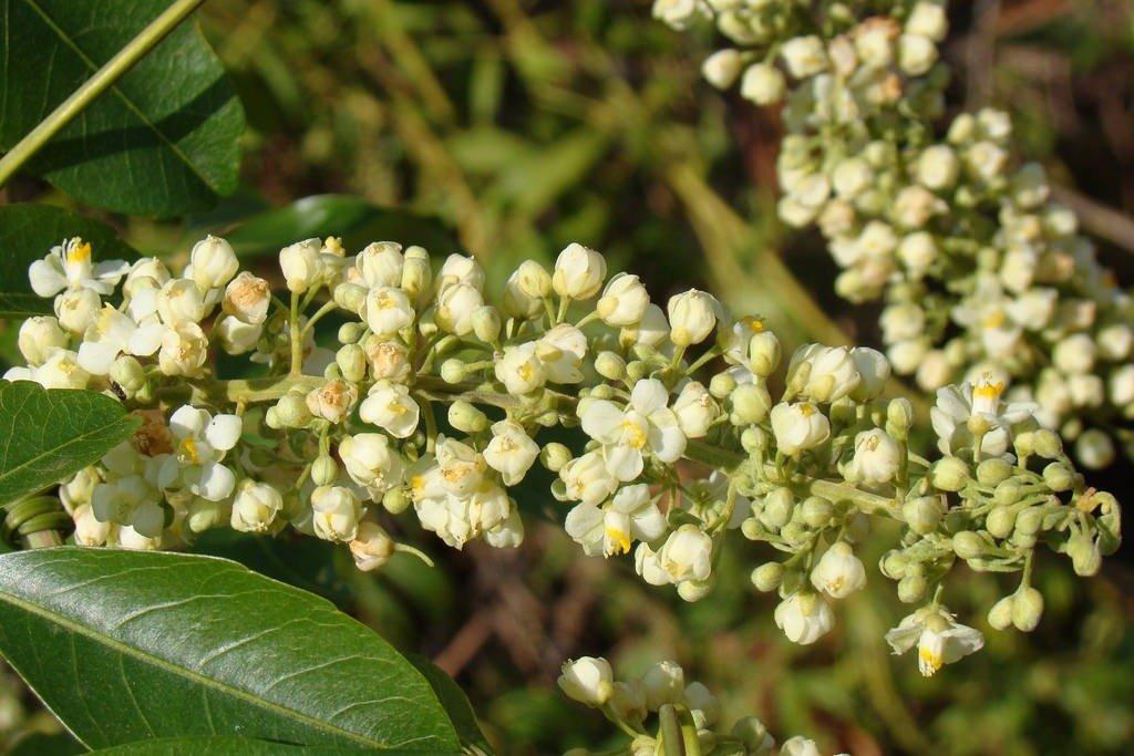 Cipó-uva
