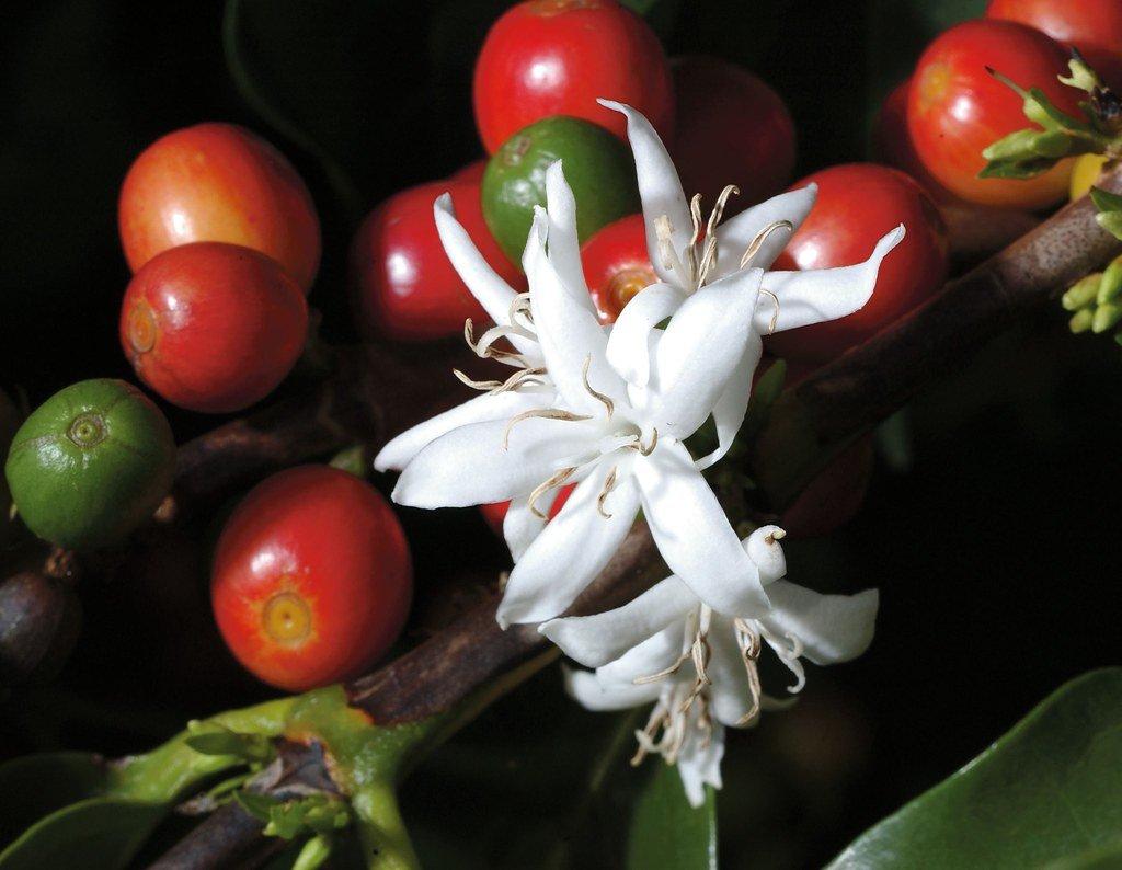 Flor-de-café