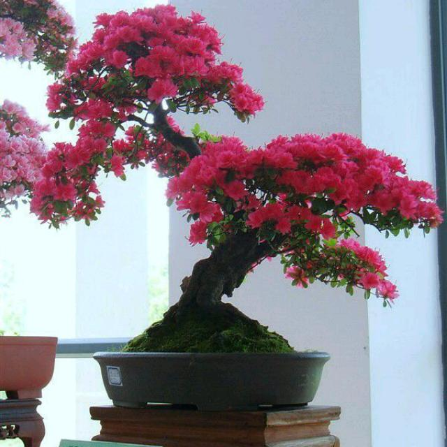 Bonsai de Cerejeira