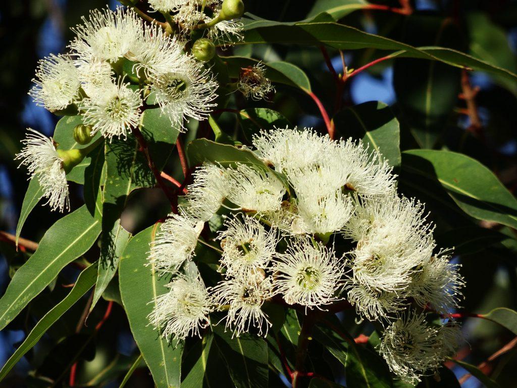 flor-de-eucalipto
