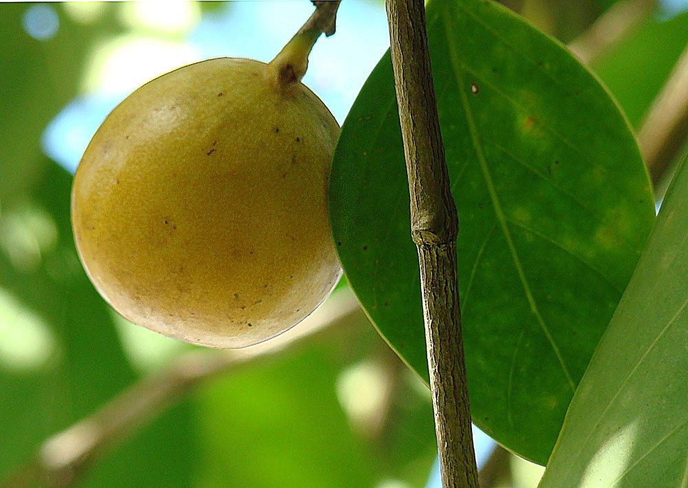 maçã da morte