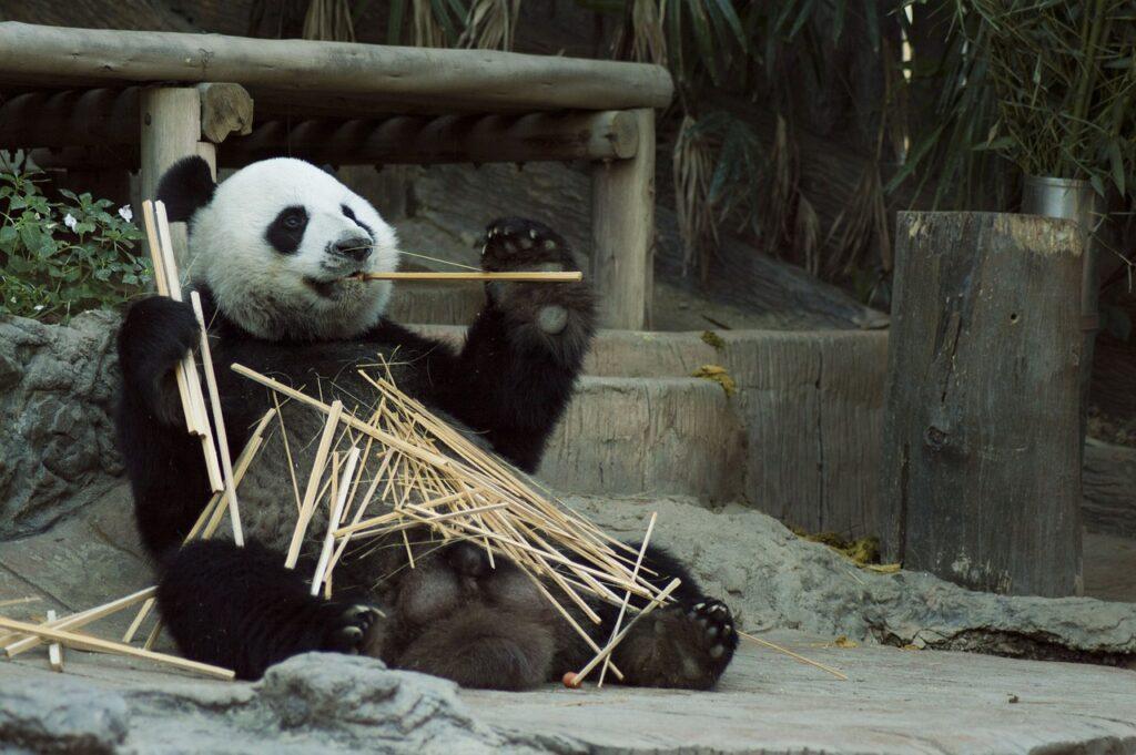 Panda comendo bambu