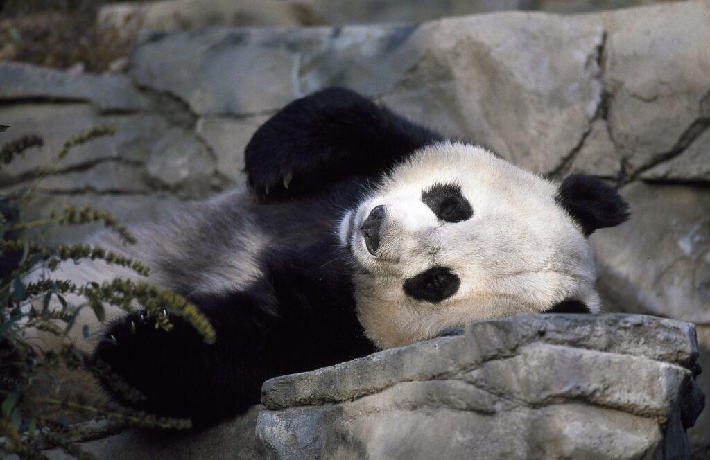 Panda dormindo
