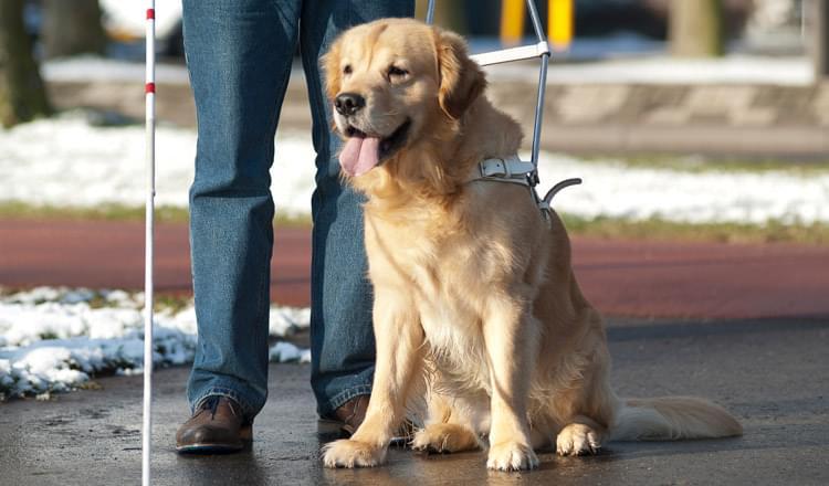 Cão guia