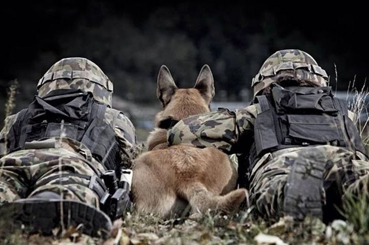 cães militares