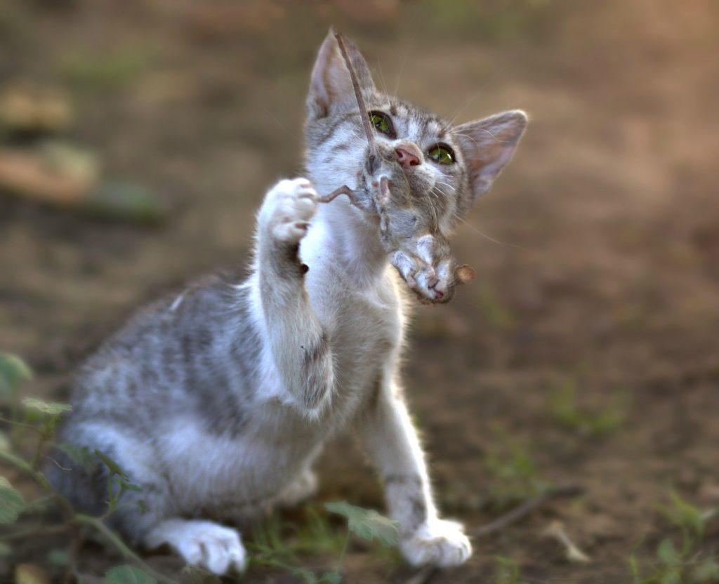 gatocacando