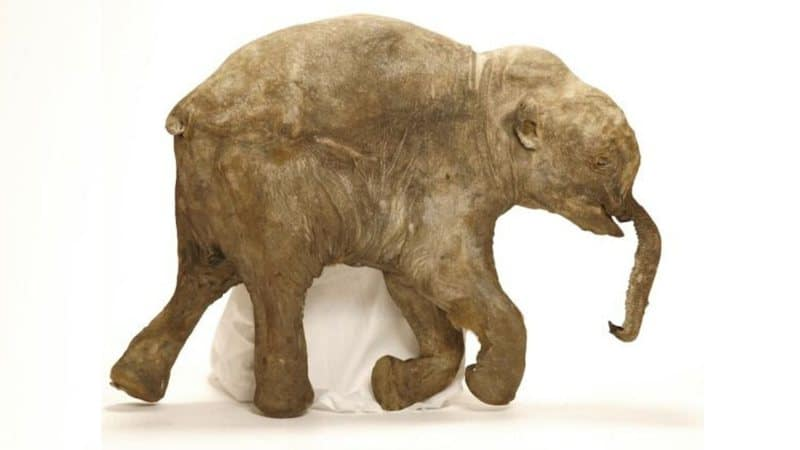 mamute lanoso