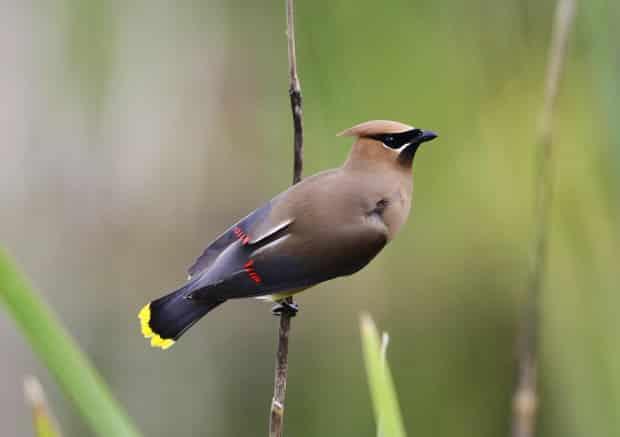 Cedar Waxwing Bird