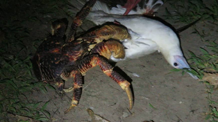 ave caranguejo