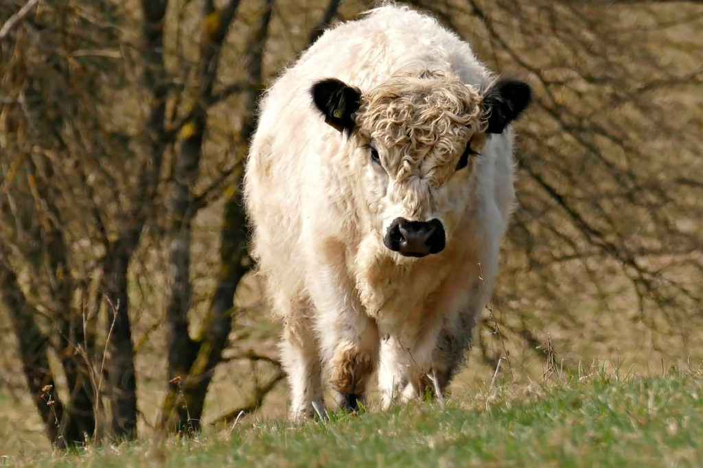 gado branco