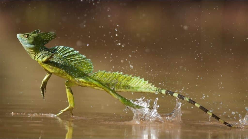 lagarto basilico