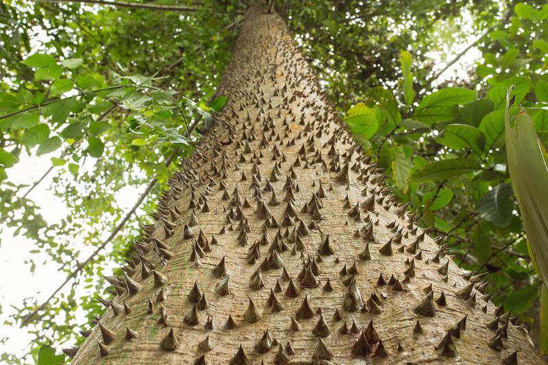 Troco espinhoso da árvore dinamite