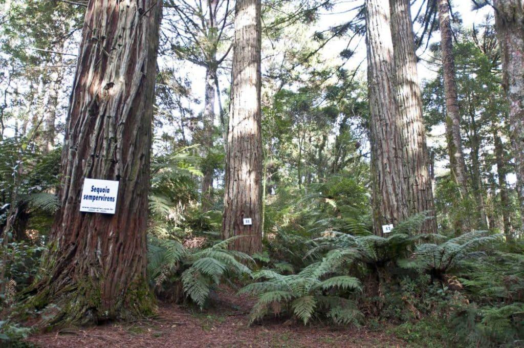 sequoia brasil