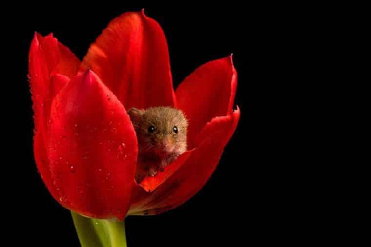 rato tulipa vermelha