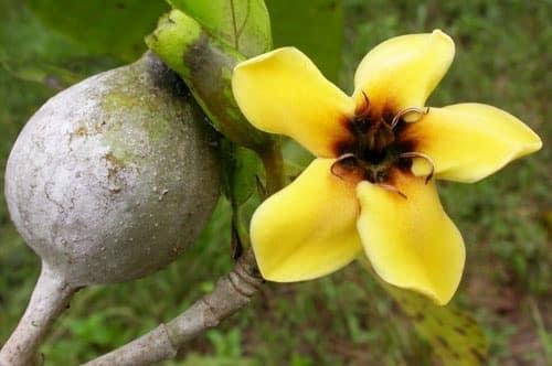 sementes jenipapo genipa americana genipapo fruta p mudas D NQ NP 958994 MLB26014739235 092017 O