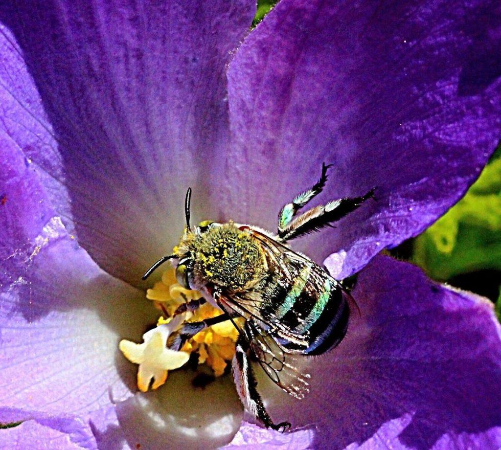 abelha azul1
