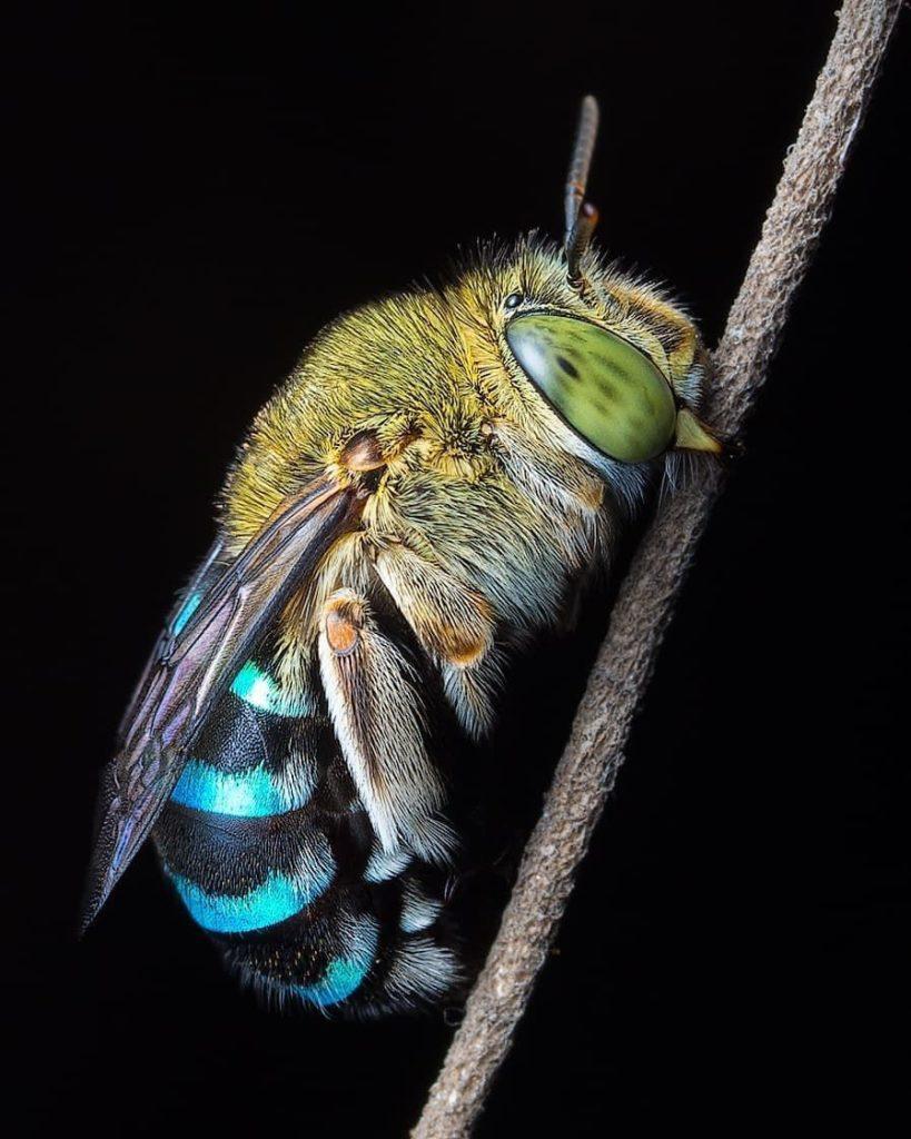abelha azul2